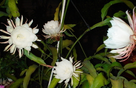 Hoa Quỳnh (2)