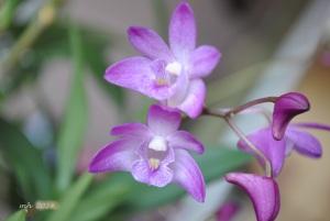 Dendrobium kingianum (purple) 2014 (1)