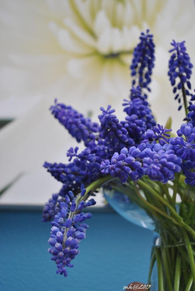 Grape Hyacinth 2013. (11)